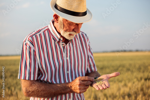 Fototapeta Serious gray haired senior agronomist or farmer examining wheat seed quality before the harvest. Front view. obraz