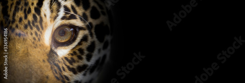 Fototapeta Portait of a jaguar close up, the look of the feline, dark background, wide bann