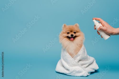 cropped view of groomer with spray bottle near pomeranian spitz dog wrapped in t Fototapet