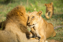 A Pride Of Lions Resting In Th...