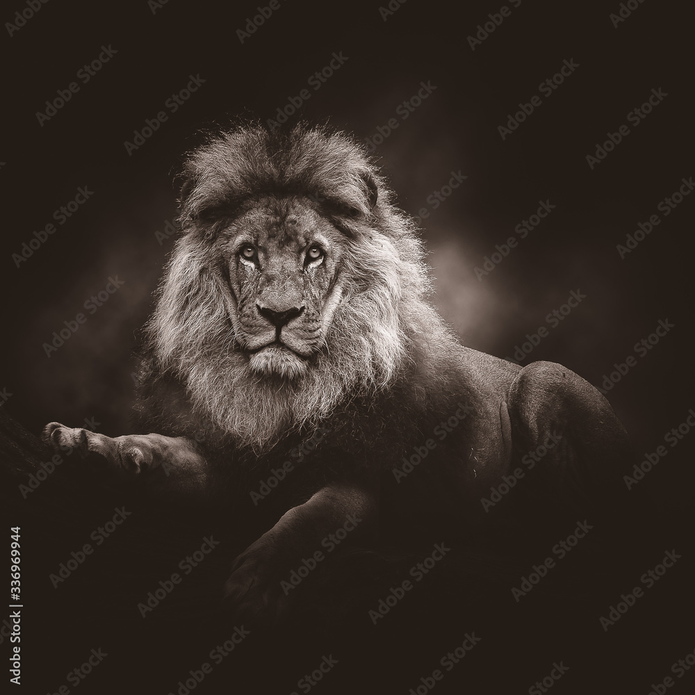 Portrait of an African lion. Black and white.