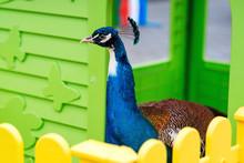 Peacock Bird Standing Outdoors...