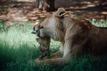 Lioness Sitting On The Grass While Eating A Piece Of Meat