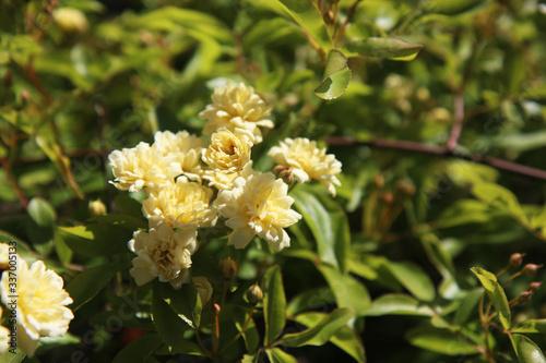 Fototapeta Arbusto di rosa rampicante, in primavera, con fiori giallo pallido a mazzetti ap