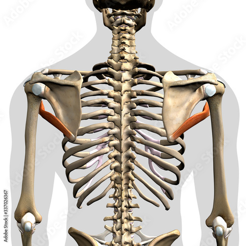 Fototapeta Teres Major Muscles Isolated in Posterior View Human Anatomy on White Background