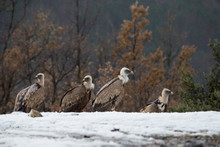 Group Of Four Griffon Vultures.