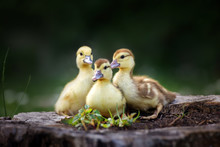 Group Of Small Ducklings Posin...