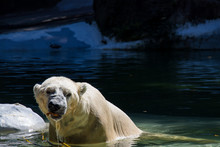 A Dangerous Polar Bear Roaring...