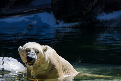 Obraz na płótnie A dangerous polar bear roaring and chewing something in his mouth and having bath on a sunny day in a zoo