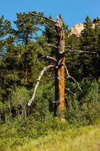 Dead Pine On Hillside Within R...