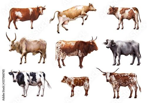 Leinwand Poster breeding cow
