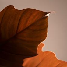 Rust Orange Leaf