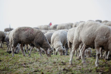 Herd Of Sheep On A Green