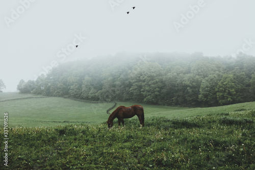 Horse grazing during the morning fog - 337091526