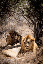 Two Male Lions Back To Back