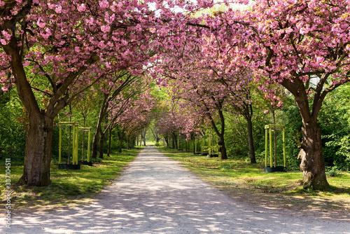 Frühling, Kirschblüte, Allee, Kirschbäume Canvas Print