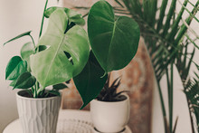 Home Plant Heaven. Green Plants In Boho Living Room. Monstera Plant. Tropical Flowers. Bohemian Lifestyle. Ceramic Pots. Home Garden Hobby. Deep Green. Large Leaf On Mostera Plant. Holes In The Leaves