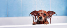 Funny Little Wet Dog In Bathroom. Dog Takes A Shower. Russian  Long Haired Toy Terrier (Canis Lupus Familiaris).
