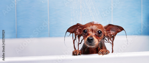 Funny little wet dog in bathroom Fototapet