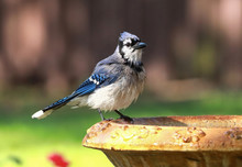 Blue Jay Perched On The Edge O...