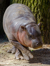 Pygmy Hippo Baby In The Spring Sunshine