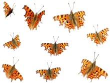 Comma Butterfly (Polygonia C-a...