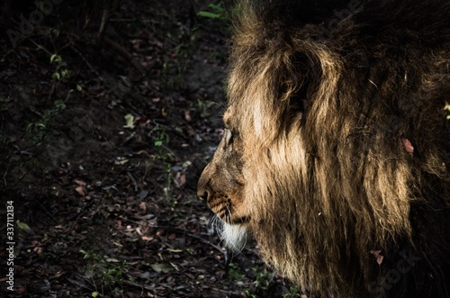 Canvas-taulu Close-up Of Lion At Forest