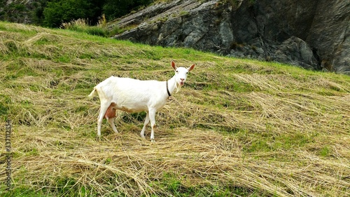 Photo Goat Standing On Grassy Field