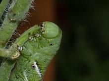 Tomato Hornworm, Manduca Quinq...