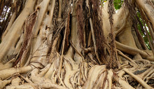 Thick Roots Of A Banyan Tree. ...