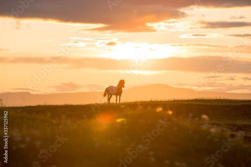 icelandic horse at sunset Wallpaper Mural