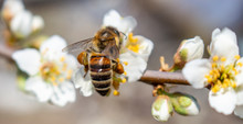 A Bee That Collects Honey And Carries It On Its Paws, Closeup, Plum Blossoms In Spring.
