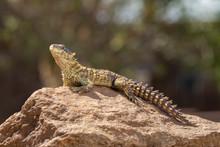 Sungazer Lizard On Rock In South Africa