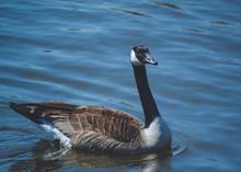 Goose Swimming In Water