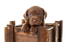 Close-up Portrait Of Cute Puppy In Wooden Box Against White Background