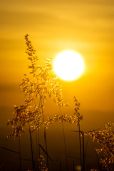 Fototapeta Do Spa Silhouette of Flower grass in the summer with sunset background