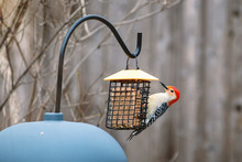 Red-bellied Woodpecker Is Eati...
