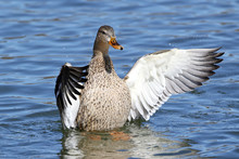Duck Flapping Wings In Lake