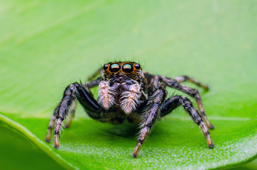 jumping spider on a green leaf