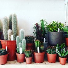 Close-up Of Potted Cactus Plants