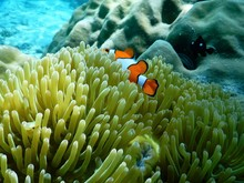 Close-up Of Clown Fish Swimming Amidst Sea Anemone In Sea