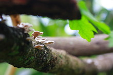 Bracket Fungus Growing On Tree Trunk. Indonesia, March 2020