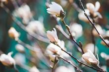 White Magnolia Early Spring  Blossom