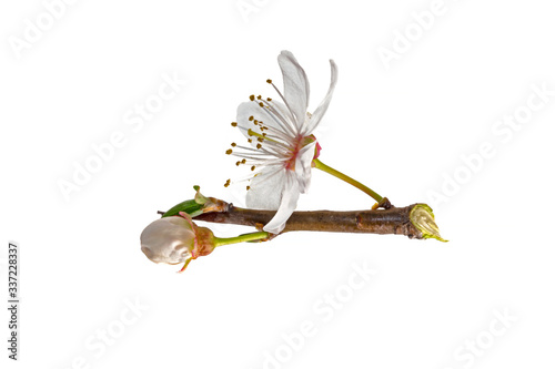 Fotografie, Obraz Blackthorn (Prunus spinosa) flowers isolated on a white background