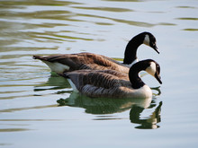 Couple Of Canada Geese Swimmin...