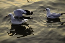 High Angle View Of Seagulls Swimming On Sea During Sunset