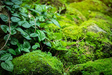 Beautiful Bright Green Moss And Liana Grown Up Cover The Rough Stones And On The Floor In The Forest. Show With Macro View. Rocks Full Of The Moss Texture In Nature For Wallpaper. Soft Focus.