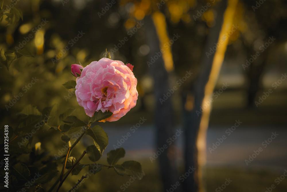 Fototapeta Różowy kwiat.