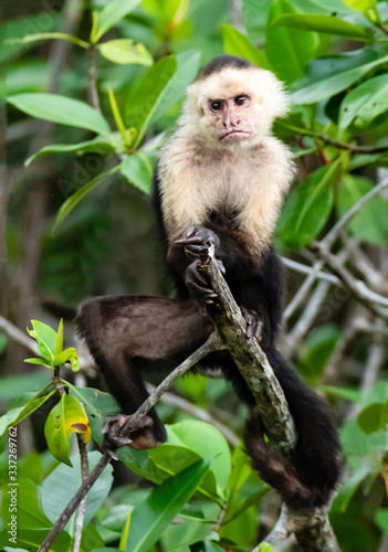 male capuchin monkey posturing in the branches of mangoves in costa rica Canvas Print
