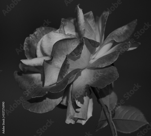 Fototapety, obrazy: Macro photography of splendid rose with large petals in black and white mode